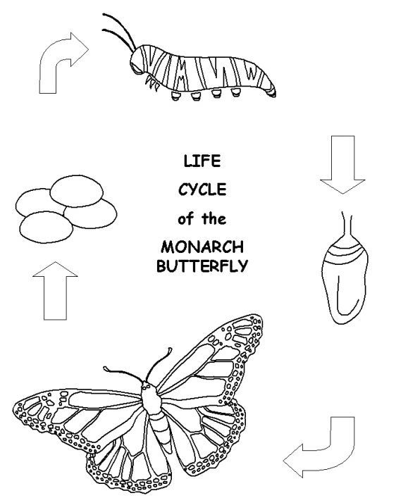 Butterfly Life Cycle Coloring Page Butterfly Life Cycle Life Cycles Coloring Pages