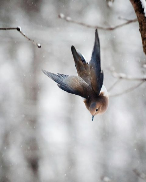 Mourning Dove (Photograph by Gloria Wilson) http://www.photographyblogger.net/the-art-of-staying-aloft-pictures-of-flying-birds-by-gloria-wilson/