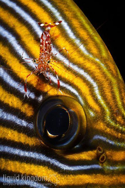 Sweetlip & shrimp by liquidkingdom, via Flickr