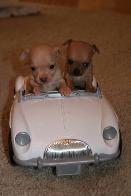 21 best images about puppy on Pinterest | Chihuahuas, Adoption and ...