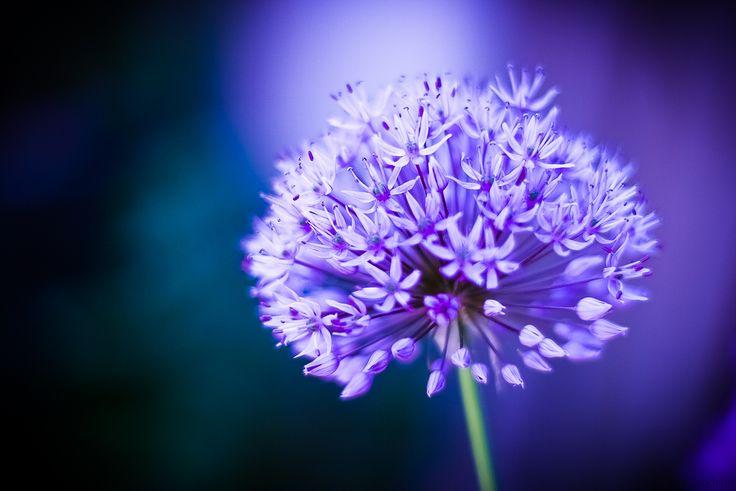 Purple Allium in bloom Photo by Åsa Zandelin #purple #allium #flower