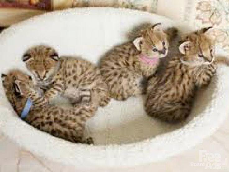 https://i.pinimg.com/736x/e9/0a/ac/e90aac98b549789dae0c3f3fff72d4dd--serval-cats-bengal-kittens.jpg