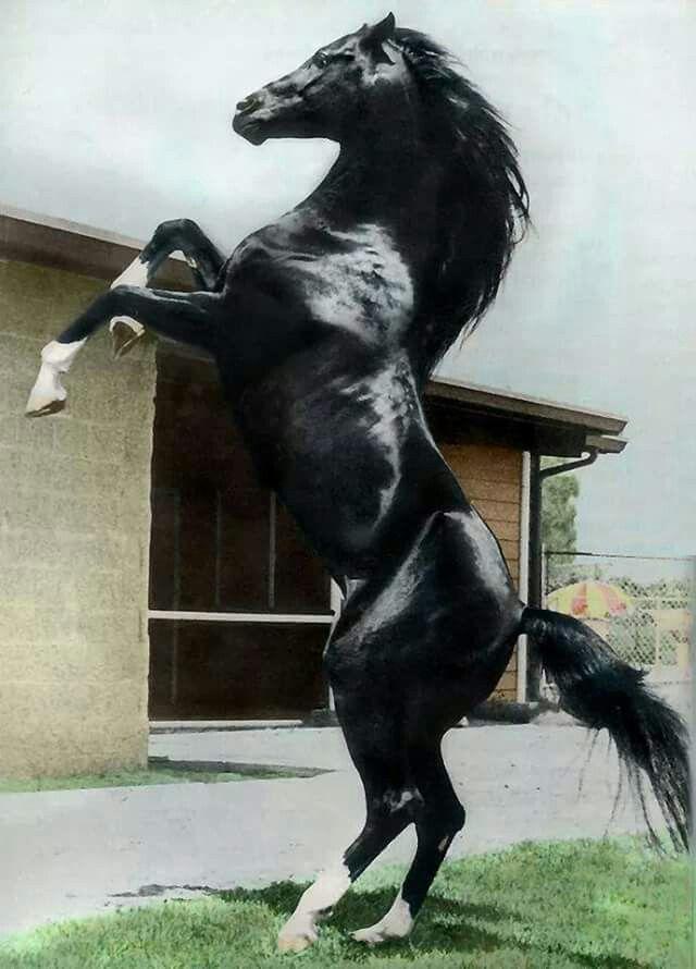 Cass Olé (6.3.1969 29.6.1993) Al-Marah Cassanova {Rapture x Cassandra by Raffles} x La Bahia {Hanrah x Ronara by Roayas} Texas bred black Arabian stallion.