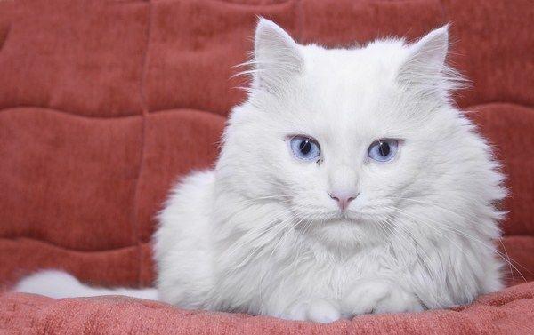 http://www.cosasdegatos.es/cuidado-gato/no-todos-gatos-blancos-ojos-azules-son-sordos