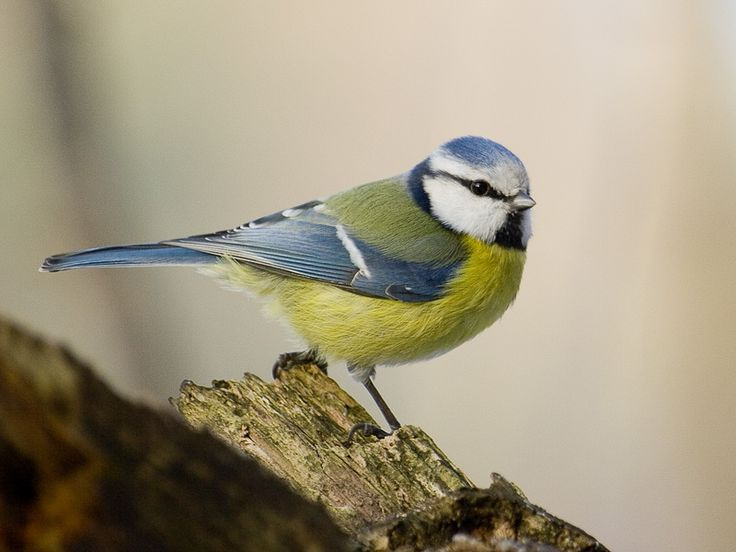 Blue tit (Parus caeruleus) | Parus caeruleus Images - Animal Database