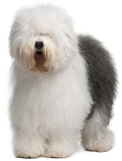 They are SO FLUFFY!!!   Old English Sheepdog