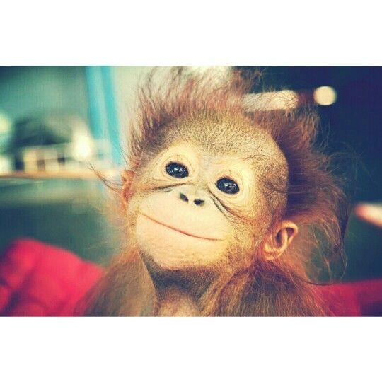 It animal name is orang utan it is from kalimantan, indonesia.