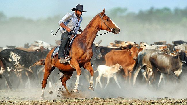 Australian stockmen mustering cattle in the Northen Territory .