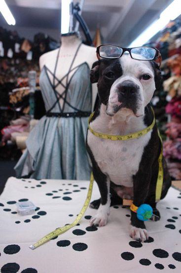"Make It Work Boston Terrier. ""This concerns me"" :)"