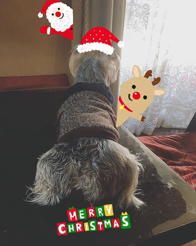 メリークリスマス🎄 * 今日の朝のサブさん🐾外を眺めてサンタさん🎅来るの待ってます🐶 * #ヨーキー #ヨークシャテリア #いぬ #いぬのきもち #いぬらぶ #いぬのいる暮らし #犬 #愛犬 #愛犬家 #愛犬家族 #dog #dogstagram #doglife #doglovers #doglove #yorkie #yorkshireterrier #でかヨーキー #垂れ耳ヨーキー #垂れ耳でかヨーキー #メリークリスマス #クリスマス #クリスマスイブ #サンタさん #待ってます #ツリー🎄