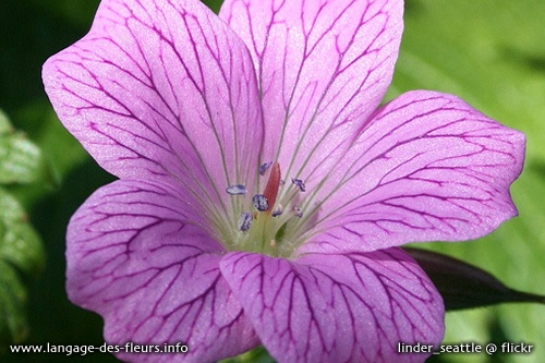 geranium flower meaning  flowers gallery, Natural flower