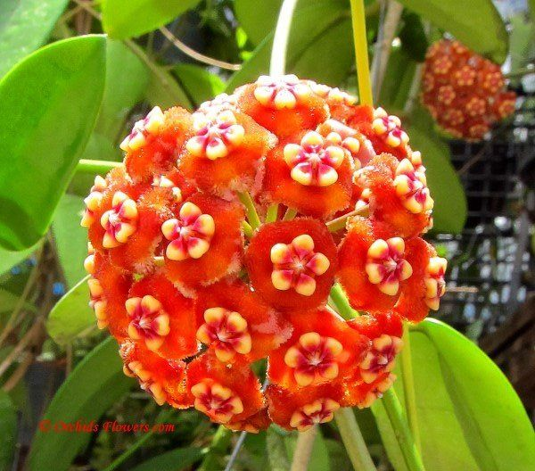 best vines in the philippines images on, Natural flower
