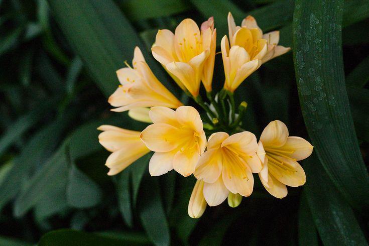 Clivia miniata, Victorian Peach x Solomone Yellow.  Colorado Clivia's plant no. 2107A.