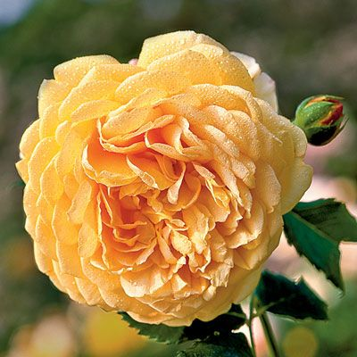 'Graham Thomas': Types Of, Fragrant Roses, Southern Living, David Austin Roses, Dazzling Types, Graham Thomas Rose, Flower Gardening, Dream Gardens