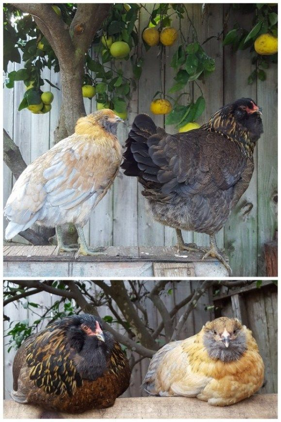Backyard Chickens: The Top 18 Breeds for Your Flock