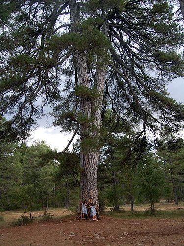 Cuenca-Pino Abuelo Arbol Singular, especie Pinus Nigra su edad puede ser superior a los 500 años y está considerado como el pino más viejo de la provincia, con un perímetro de 4,30 metros. Está situado en el monte Los Palancares de Cuenca, (Cuenca-España)
