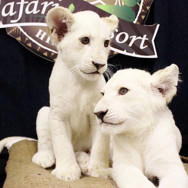 hcpsafari ホワイトライオン双子の名前が決まりました! 応募総数1170通より メスは、なかまとなかよく『なな』 オスは、フランス語で白『ブラン』となりました♪ たくさんの素敵な名前のご応募ありがとうございました! #姫路セントラルパーク #ホワイトライオン #赤ちゃん #himejicentralpark #whitelion #baby 姫路セントラルパーク 2017/08/05 16:40:13