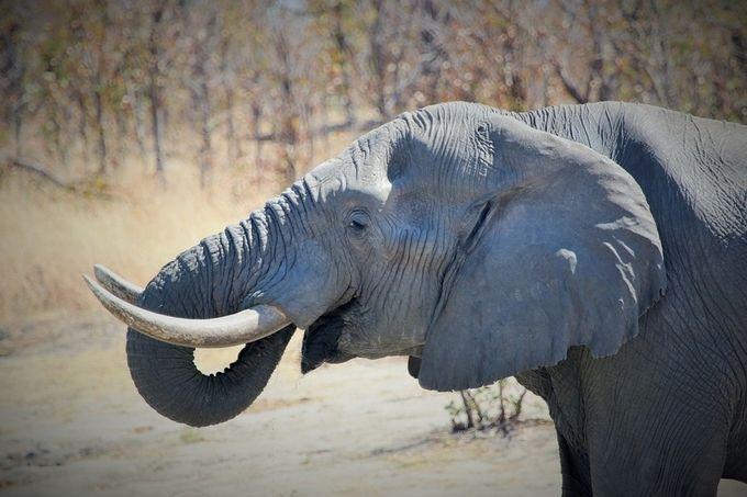 """Photo """"AfricanElephantBull"""" by maryannwest"""