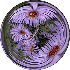 purple aster marble