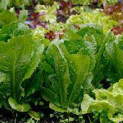how to grow lettuce: Vegetables Gardens Tips, Growing Lettuce, Growing Vegetables, Vegetables Plants, Gardens Ish, Gardens Flowing Arrangements, Gardens Design, Dreams Gardens, Gardens Growing