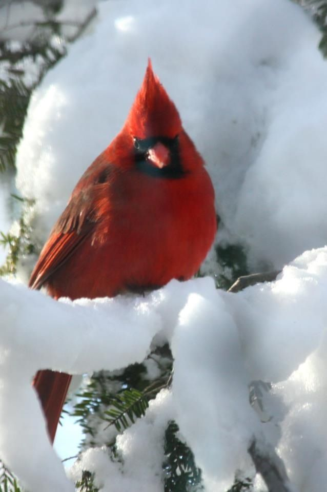 male Cardinal~ perched on snowy branch