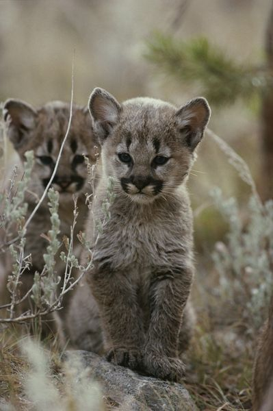A pair of eight-week-old cougar kittens