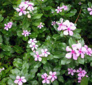 pink periwinkle Catharanthus roseus