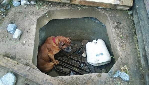 Blind Boxer Dog Rescued After Being Thrown Down Concrete Hole > Puppy Toob