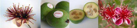 http://feijoafeijoa.wordpress.com/recipes/ Blossom and fruit mosaic