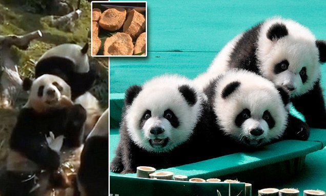 In Video: Watch the world´s only panda triplets enjoy some Chinese...