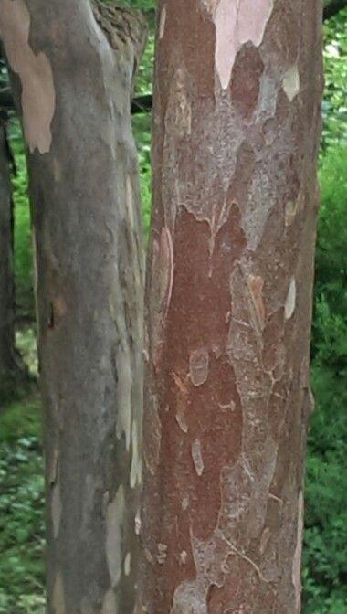 Clethra barbinervis Japansk konvalbusk