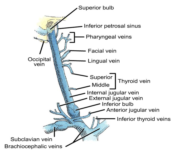 Jugular vein anatomy