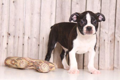 Boston Terrier puppy for sale in MOUNT VERNON, OH. ADN-36767 on PuppyFinder.com Gender: Male. Age: 9 Weeks Old