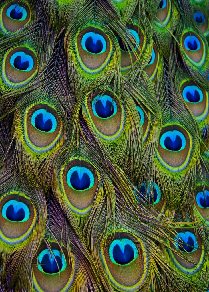 42 best pattern animal images on pinterest feathers patterns and backgrounds - Beautiful peacock feather ...