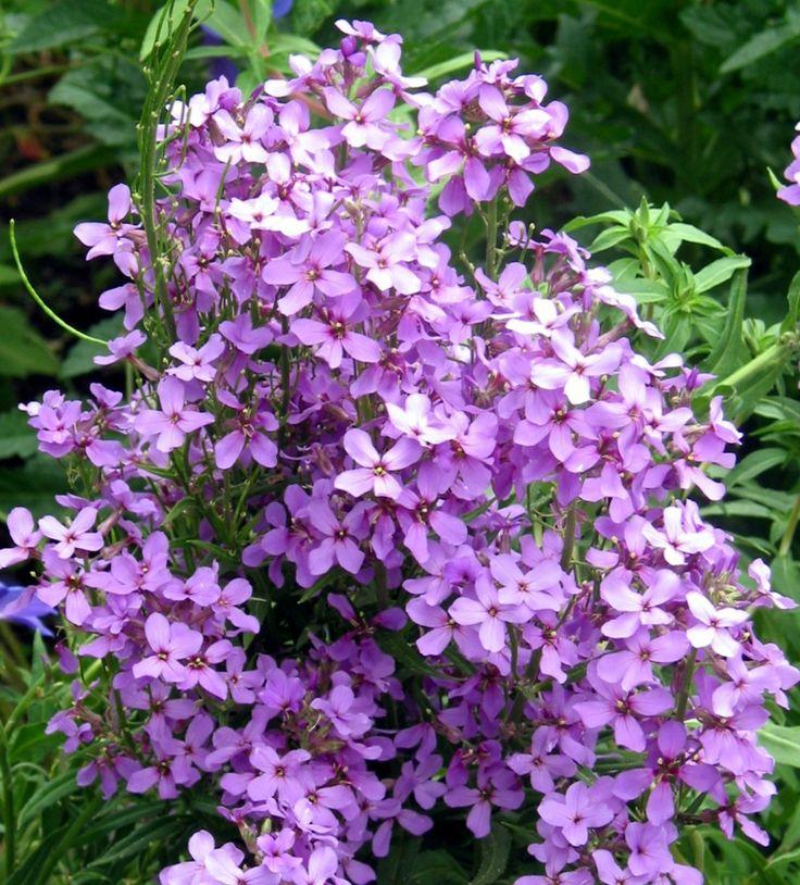 nachtduftende pflanzen gewoehnliche-nachtviole-lila-zweijaehrig-blume