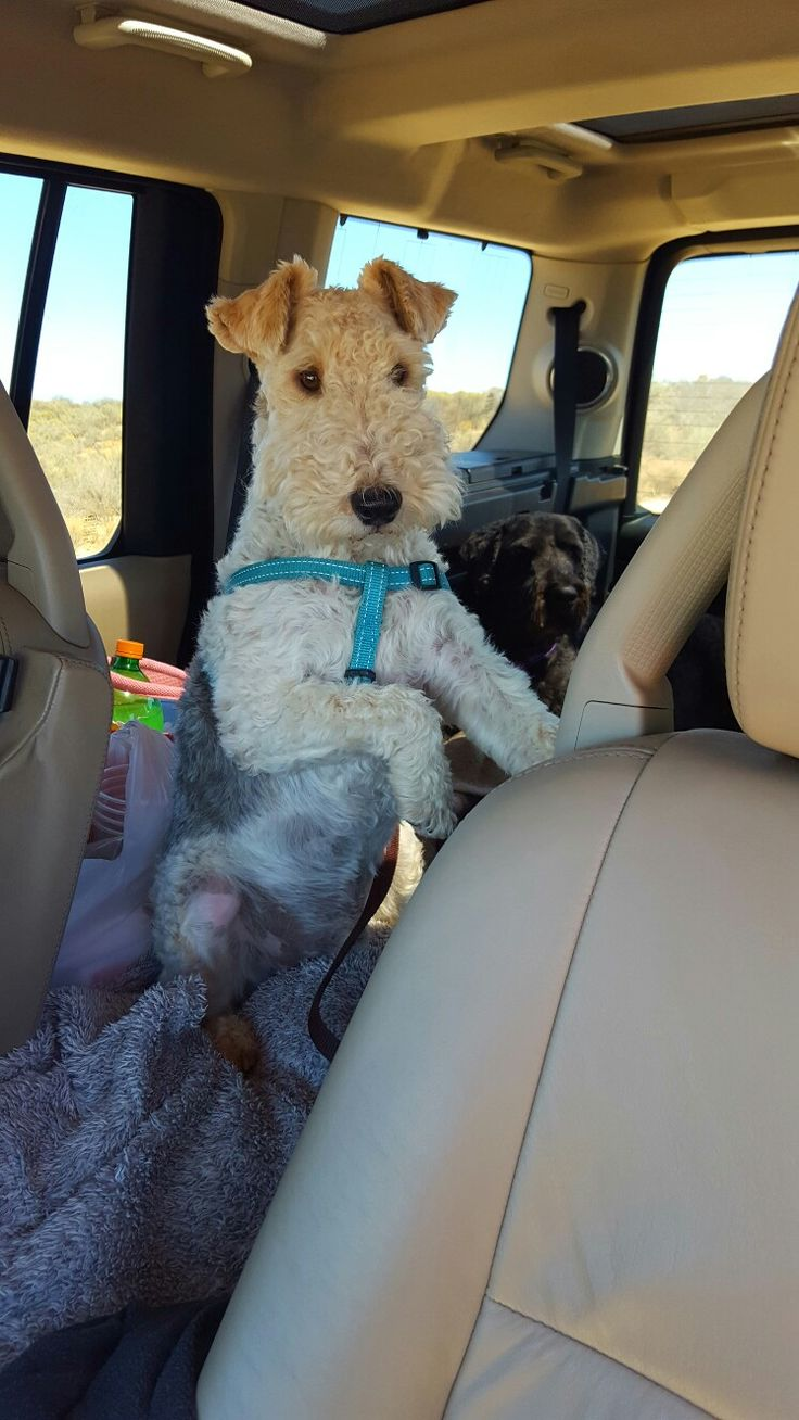 204 best Happy RIDES! images on Pinterest | Wire fox terriers, Dog ...