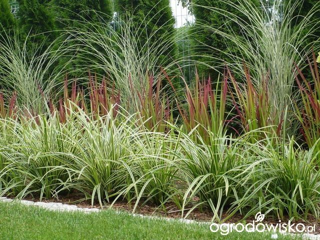 550 best images about grasses on pinterest for Small decorative grasses