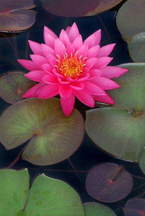 Lírio de água cor de rosa em jardins de Longwood em Pensilvânia