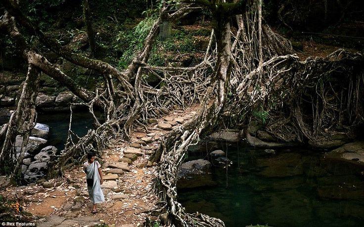 The Root Bridges of Cherrapunji インド北東部の熱帯雨林地域にある、生きた木がそのまま橋になった神秘的な橋。