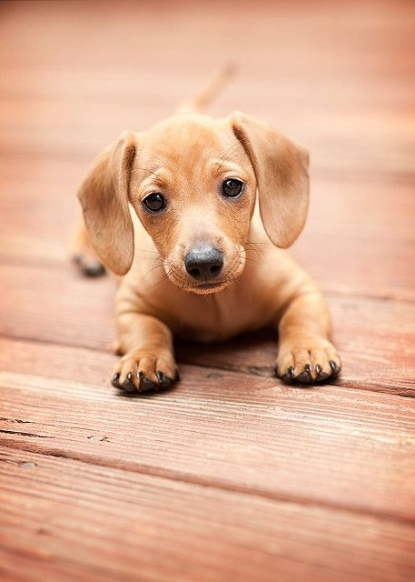 Doxie puppy on the decking, Simple photograph and matching colours within the photography | #Photography #Pet #Dog #Puppy #Puppies #Doxie #Cute #Animal #Canine