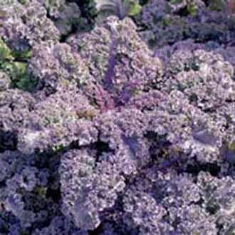 BRASSICA oleracea (Kale) - Kurly Scarlet - Varza de frunze