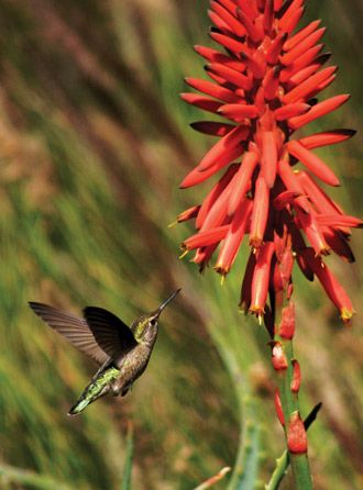 Create a Hummingbird Habitat in Your Own Backyard | Mississippi Gardener Web Articles