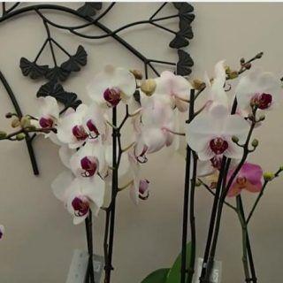 Les 25 meilleures id es de la cat gorie fleurs d 39 orchid es sur pinterest orchid es roses - Prendre soin des orchidees ...