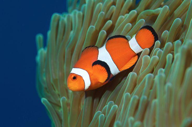 , ook bekend onder de algemene namen harlekijnvisje of clownvis ...