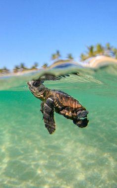 Baby turtle... keep swimming #wildlife #sea #turtle