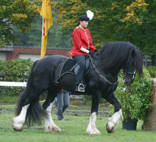 Shire Horse Stallion - Ballybane Adonis