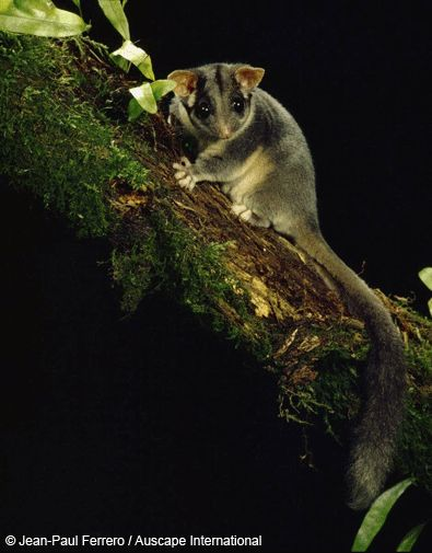 Probably the only possum you'll find cute! The Leadbeater's Possum.