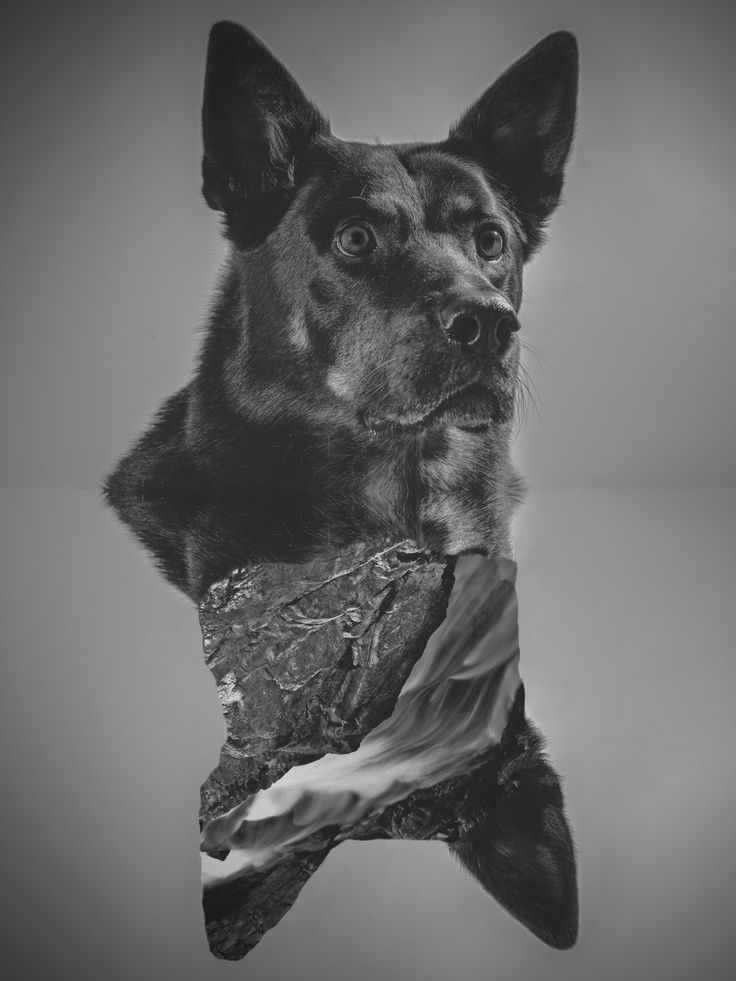 .Aspen #portrait  #photography  #monochrome  #black&white  #doubleimage  #dogsessions  #shepard  #rottwailler  #nature  #inside  #yyc  #calgary  #mexicanphotographer  #irvingcreaphotos