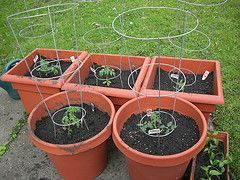 Potted Or Container Vegetable Gardening Tips For Beginners   Take Out  Grasses, Put Out Two