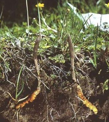 Cordyceps sinensis has been described as a medicine in old Chinese medical books and Tibetan medicine.It was found that most local folk healers/traditional healers use cordyceps for the treatment of 21 ailments.The fungus Cordyceps sinensis has been described in old Chinese medical books from ancient times, and is also found in Tibetan medicine. It grows only in high-altitude regions of about 3800 m above sea level,in cold, grassy, alpine meadows of the Himalayan mountains.